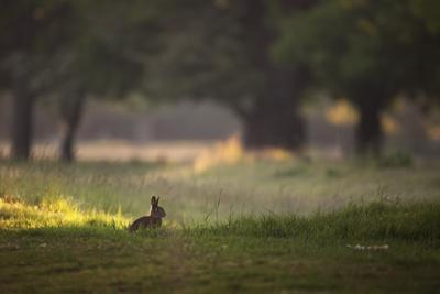 A Spring Rabbit Grazes in Richmond Park on a Spring Morning