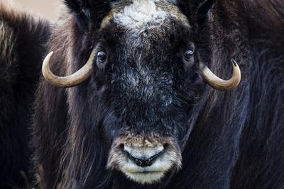 Strong Arctic Winds Send the Shaggy Coat of a Musk Ox Flying