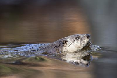 A North American River Otter, Lontra Canadensis, Swimming