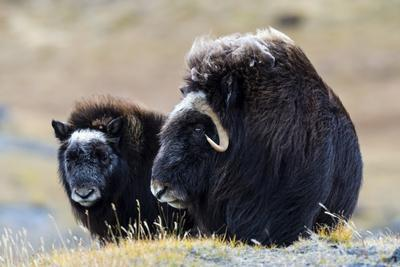 A Mother Musk Ox Protecting Her Calf on the Open Tundra