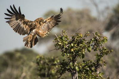 A Tawny Eagle Preparing to Land in a Tree Top
