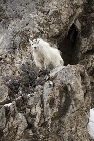 A Mountain Goat, Oreamnos Americanus, Atop a Rocky Outcrop