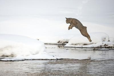 A Bobcat, Lynx Rufus, Leaping from One Snowy River Bank to Another