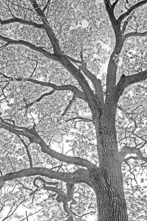 A Beautiful Infrared Artistic Image of an Oak Tree Branches Against the Sky