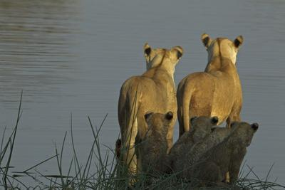 Two Lioness Preparing to Cross a Spillway as their Cubs Sit in the Reeds and Watch