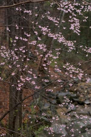 Dogwood Trees in Bloom in Spring