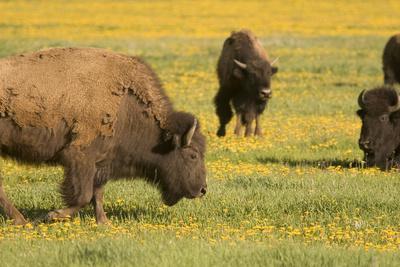 American Bison, Bison Bison, in Grand Teton National Park