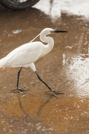 White Egret Walks around the Old Port of Casablanca