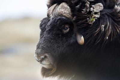 A Musk Ox with a Huge Shaggy Coat on the Windy Tundra