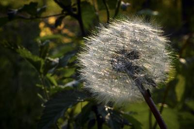 Dandelion Seeds Ready to Be Dispersed