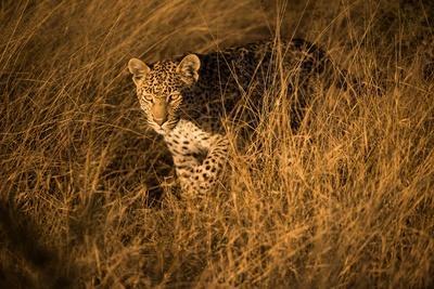 Portrait of a Female Leopard Stalking in Tall Grass