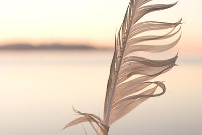 A Feather from a California Gull, Larus Californicus, Found on the Shoreline
