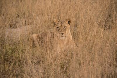 A Lioness Resting in Tall Grasses