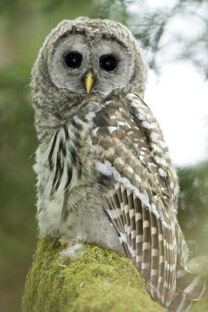 A Juvenile Barred Owl, Strix Varia, Perches on a Tree Branch
