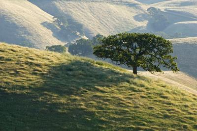 A Tree in the Grassy Hills of Mount Diablo State Park