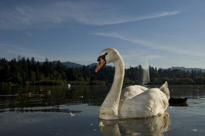 A Mute Swan, Cygnus Olor, on Lost Lagoon in Stanley Park