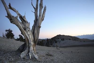 A Great Basin Bristlecone Pine, Pinus Longaeva, in Ancient Bristlecone Pine Forest, at 11,000 Feet
