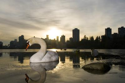 A Mute Swan, Cygnus Olor, in Lost Lagoon in Stanley Park