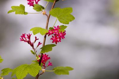 A Red-Flowering Currant, Ribes Sanguineum