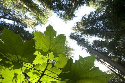 A Vine Maple, Acer Circinatum, and the Forest Canopy
