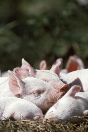 Piglets Enjoying Sun and Fresh Air at an Organic Farm