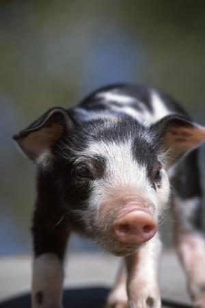 A Piglet Enjoying Sun and Fresh Air at an Organic Farm