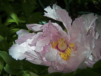A Peony Blooms in a Garden