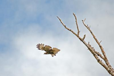 A Red-Tailed Hawk, Buteo Jamaicensis, Flies Above Montana's Gallatin Valley Near Bozeman