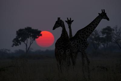 Three Giraffe Silhouettes Against the Setting Sun