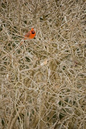 A Male Northern Cardinal, Cardinalis Cardinalis, Perches in a Shrub