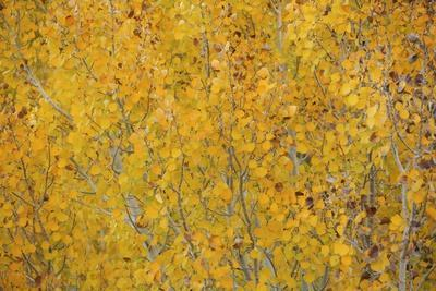 Fall Colors in an Aspen Grove Above Bishop