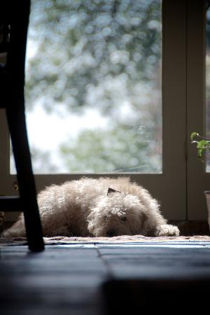 Lazy Labradoodle