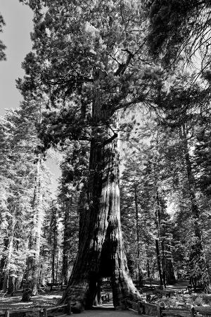 Sequoia - Mariposa Grove Museum - Yosemite National Park - Californie - United States