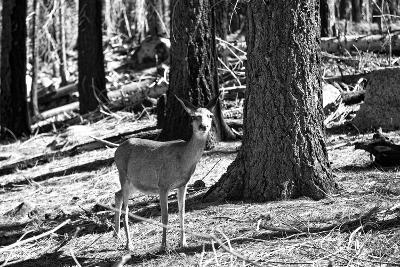 Wild deer - Yosemite National Park - Californie - United States