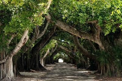 The Beautiful Banyan Tree