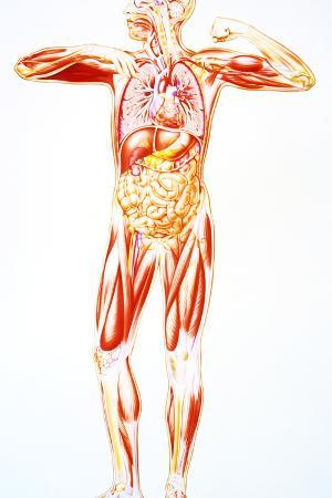 Artwork Showing Anatomy of a Standing Human Body