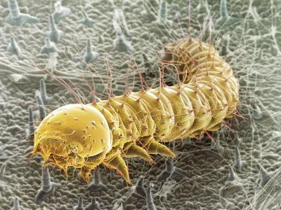 Cabbage White Butterfly Caterpillar, SEM