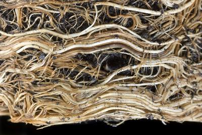 Roots of a Pot-bound Buddleja Plant