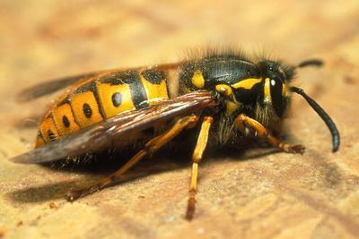 A Common Adult Worker Wasp, Vespula Vulgaris