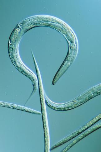 Lm Of The Nematode Worm  Caenorhabditis Elegans