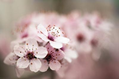 Cherry Plum (Prunus Ceracifera)