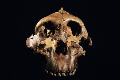 Paranthropus Boisei Skull