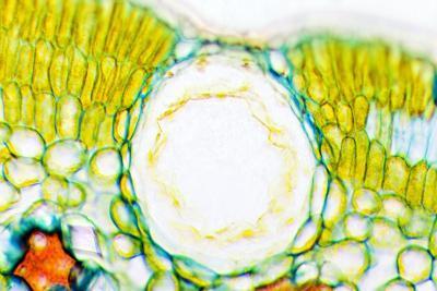Heather Leaf Stomata, Light Micrograph