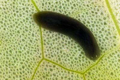 Flatworm on a Leaf