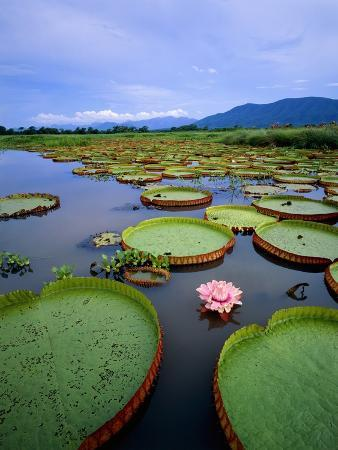 Water lily leaves with pink flower, Pantanal, Brazil (near Paraguay River)