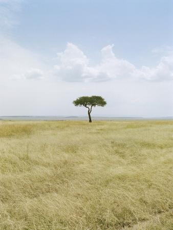 Acacia Tree, Masai Mara National Park, Kenia