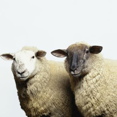 Sheep Standing Side by Side