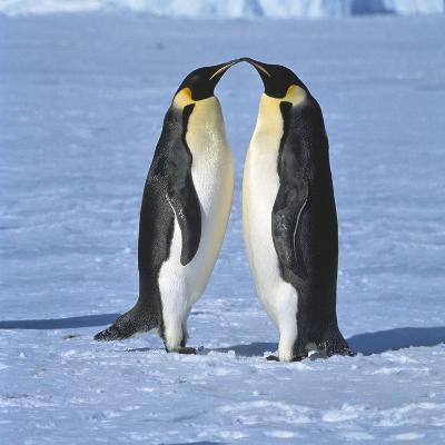 Two Emperor penguins standing face to face, (Antarctic)