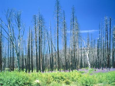 Dying forest in the Yosemite National Park, California, USA