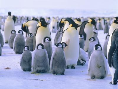 Emperor penguin with young animal